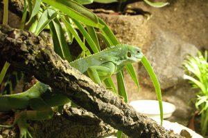 Fidschi-Leguan
