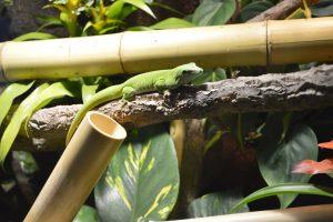 Taggeckos-Phelsumen: Phelsuma grandis