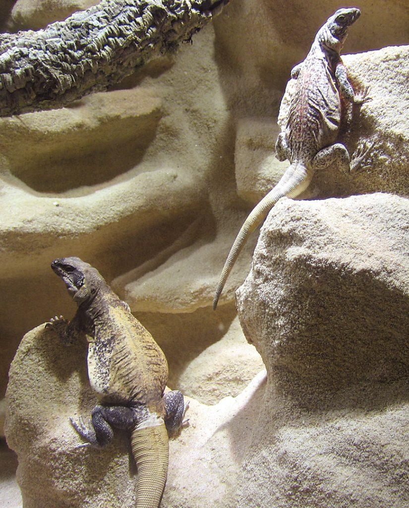 Chuckwallas vor Felswand mit Spalten und großen Felsüberständen