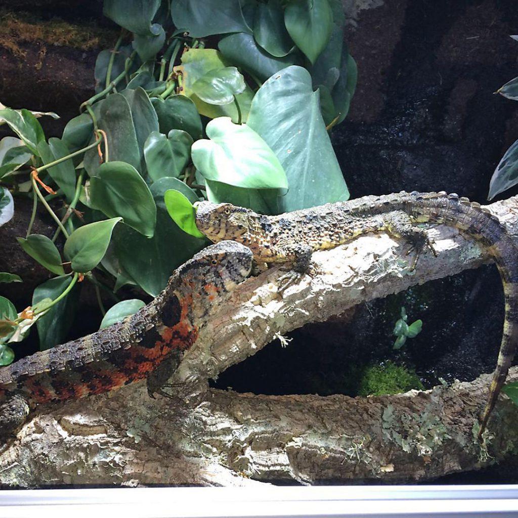 Chinesische Krokodilschwanzechse