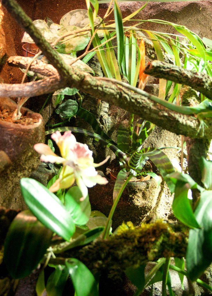 Regenwald für Fidschi-Leguane