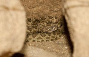 """Westliche Klapperschlange """"Crotalus viridis nuntius"""""""