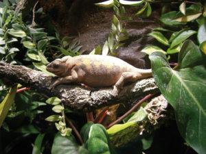 Panther-Chamäleon (Furcifer pardalis)