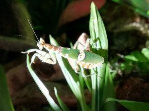 Orchideenmantis / KronenfangschreckeOrchideenmantis / Kronenfangschrecke